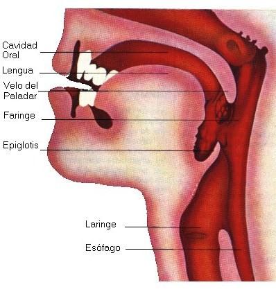 Sistemas cuerpo humano:respiratorio-digestivo-circulatorio - Ciencia ...